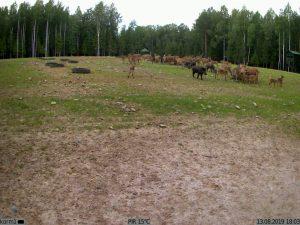 животные на поляне - фото с фотоловушки Kubik