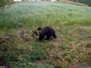 фото с фотоловушки Kubik - медведь на поле
