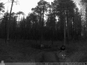 ночное фото с фотоловушки Kubik - медведь