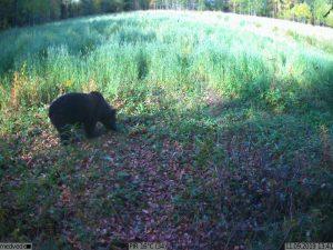 фото с фотоловушки Kubik - медведь
