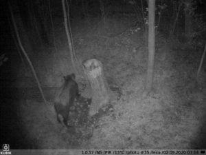 ночное фото с фотоловушки Kubik