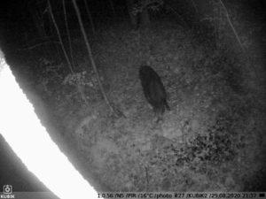ночное фото с фотоловушки Kubik - кабан