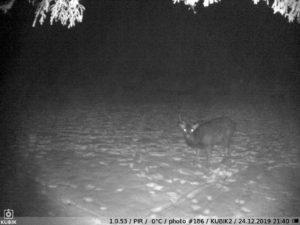 ночное фото Kubik - олень