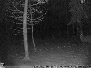 ночное фото с фотоловушки Kubik - олень