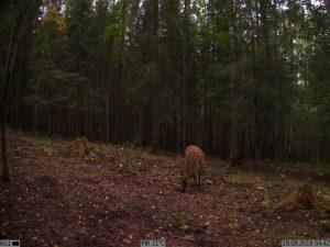 Kubik сработал на оленя