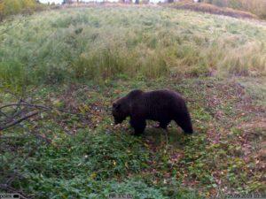 фотоловушка KUBIK - медведь