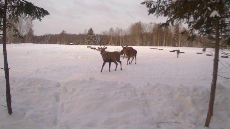 Зимние сработки с фотоловушки KUBIK