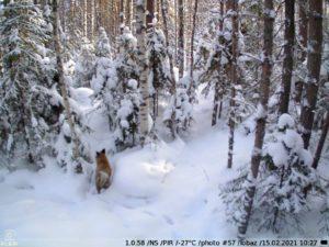 зимнее фото c KUBIK — лиса