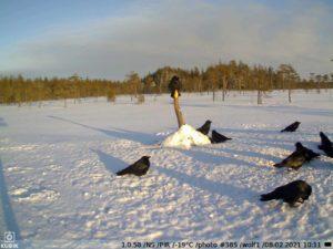 зимнее фото c KUBIK — привада на волка