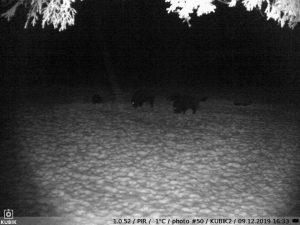 ночное фото Kubik с кабанами