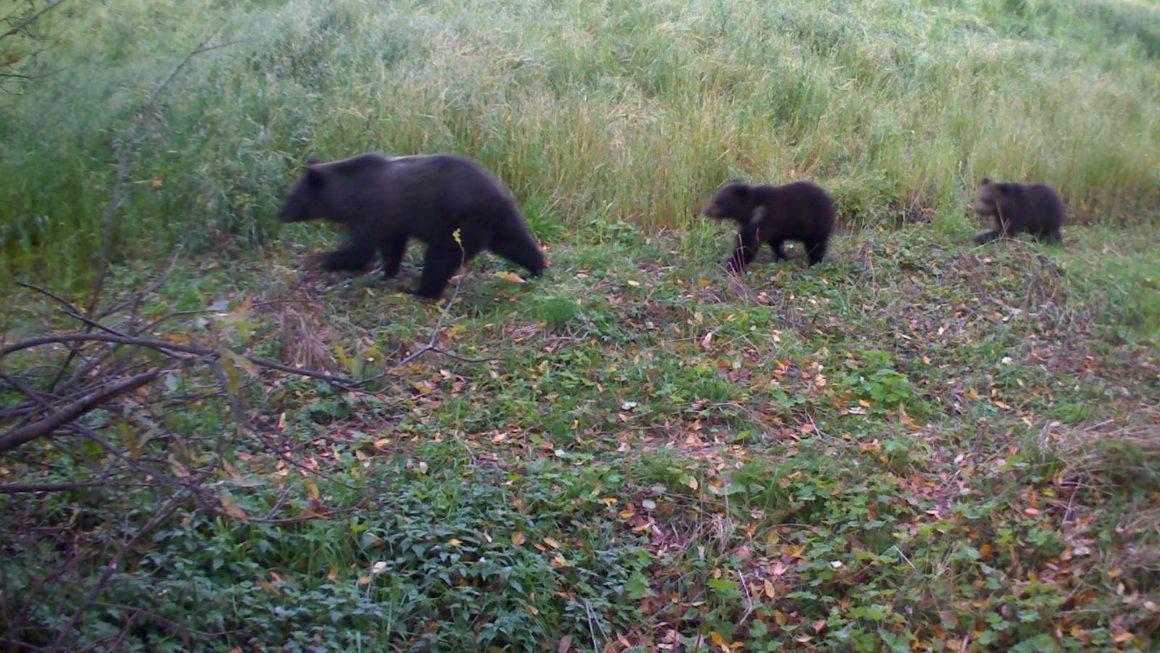 сработка Kubik - три медведя
