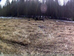 сработка GSM-камеры Kubik на медведя