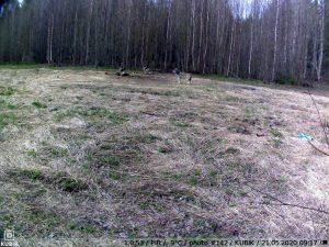 фото с фотоловушки Kubik - волк