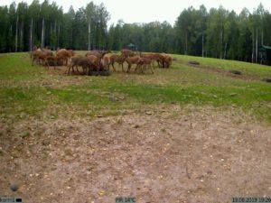 фото с фотоловушки Kubik - стадо оленей