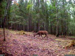 фото с фотоловушки Kubik - олень в лесу