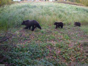 три медведя - сработка фотоловушки Kubik