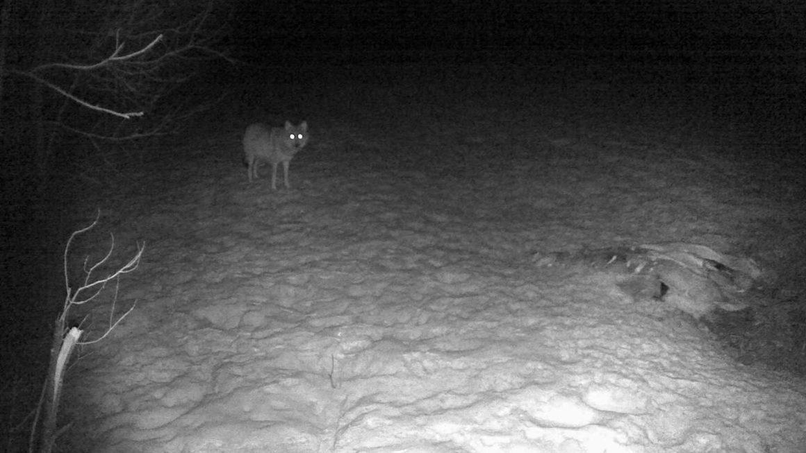 ночное фото с фотоловушки Kubik - волк