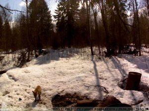 фото с фотоловушки Kubik - лиса в весеннем лесу